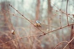 Little blaumeise on the branch (Eurasian Blue Tit). Little titmouse on the branch pastel toned Royalty Free Stock Images