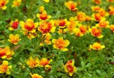 Little blommor för gemensam Purslane Arkivfoto