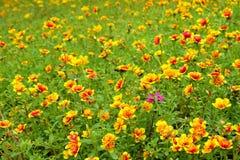 Little blommor för gemensam Purslane Arkivbilder