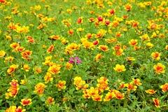 Little blommor för gemensam Purslane Royaltyfria Foton