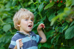 Little blond boy having fun with picking berries on raspberry fa Royalty Free Stock Photography