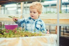 Little blond boy planting flower in pink pot. Fun time at greenhouse royalty free stock image
