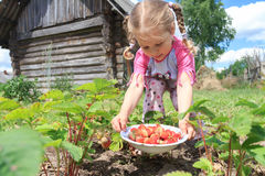 Little blonde girl harvesting home-grown garden. Little blonde girl is harvesting home-grown garden strawberries on outdoor garden bed Royalty Free Stock Photo