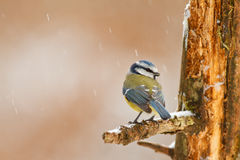 Little blue. Blue tit in winter in the snow Stock Photo