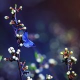 Little blue butterfly, Icarus was sitting on the branch of the c. Herry blossoms in a fabulous spring garden Stock Images