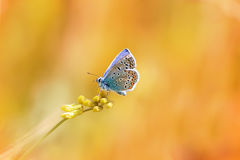 A little blue butterfly sitting on a blade of grass on a sunlit Stock Photography