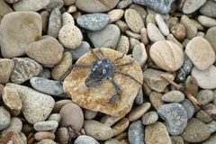 Little blue crab sits on a stone on a background sea pebbles royalty free stock image