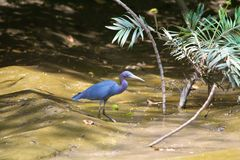 Little blue crane hunched over Stock Photos