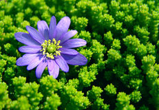 Blue daisy in green moss. Close up of blue daisy blossom in green moss on sunny day stock image