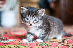 Little blue-eyed kittens royalty free stock photo