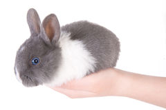 Little blue eyed rabbit in the hands royalty free stock photos