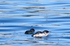 Little blue fairy Penguins. (Eudyptula minor) swim and hunt fish at sea stock photo