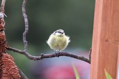 Little blue finch. A little blue tit on a branch royalty free stock photos