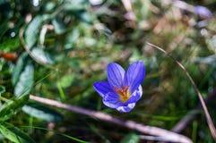 Little blue crocus flower Stock Photo