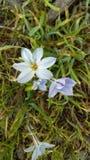 Little Blue Flower among Grass stock photo