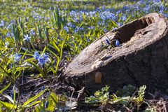 Little blue flower in stump among first spring wild flowers royalty free stock images
