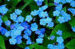 Little blue flowers Stock Photography