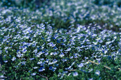 Little blue flowers, cold light Royalty Free Stock Photography