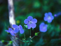 Little blue flowers of flax, Linum perenne Royalty Free Stock Images