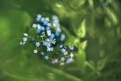 Little blue flowers forget-me-in spring evening. Retro look. Art. Copy space.  royalty free stock images