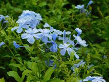 Little blue flowers among green leaves. Focus of some small blue flowers illuminated by the little light of dawn Royalty Free Stock Images