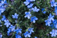 Little blue flowers stock photos