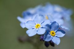 Little blue flowers with selective focus. Stock Image