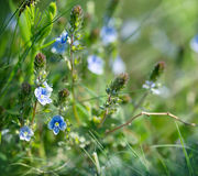 Little blue flowers in spring Royalty Free Stock Photos