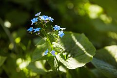 Little blue forget-me-not flowers on spring meadow in the sunlights. stock image