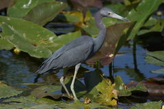 Little Blue Heron. Walking on lily pads in Shark Valley - Everglades National Park royalty free stock photography
