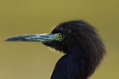Little Blue Heron. Closeup of little blue heron shorebird with a yellow eye, found in wetlands areas Royalty Free Stock Photos