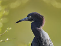 Little Blue Heron. Against a soft background Royalty Free Stock Photo