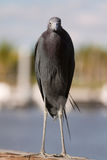 Little Blue Heron Royalty Free Stock Photography