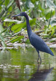 Little Blue Heron. Photograph of a Little Blue Heron in a southern tropical setting royalty free stock photos