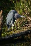 Little blue heron Royalty Free Stock Image