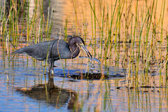 Free Little Blue Heron Stock Photos - 17582233