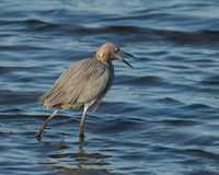Little Blue Heron Stock Photography