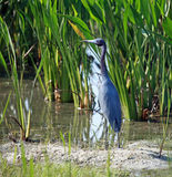 Little Blue Heron Royalty Free Stock Images