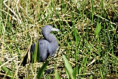 Little Blue Heron Stock Photos