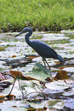 Little Blue Heron. In Lily pads Royalty Free Stock Photography