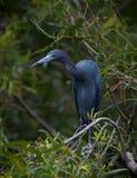 Little Blue Heron Stock Photos