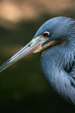 Little Blue Heron. A close up of a little blue heron Stock Images