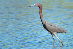 Free Little Blue Heron Royalty Free Stock Images - 33271119