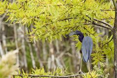 Little Blue Heron. A little blue heron perching in a tree in the Everglades Royalty Free Stock Photo