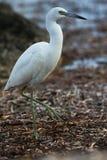 Little Blue Heron. Egretta caerulea - walking along the shore stock photography