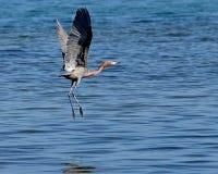 Little Blue Heron Royalty Free Stock Photo