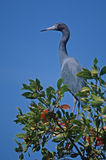 Little blue heron. Against sky Stock Photo