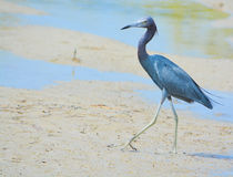 Free Little Blue Heron At The Lemon Bay Aquatic Reserve In The Cedar Point Environmental Park, Sarasota County, Florida Stock Images - 90137384
