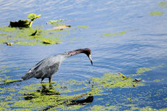 Little Blue Heron Bird Stock Images