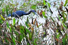 Little blue heron bird Stock Image